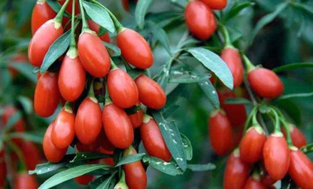 Klasifikasi dan Morfologi Tanaman Goji Berry