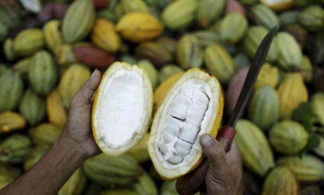 Panen Tanaman Kakao