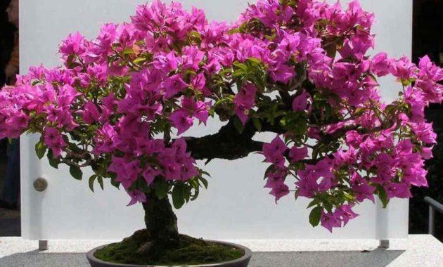 Syarat Tumbuh Tanaman Bunga Kertas Ilmu Pertanian