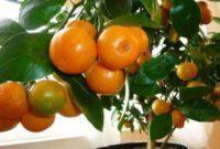 Syarat Tumbuh Tanaman Jeruk Santang Madu