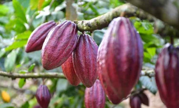 Syarat Tumbuh Tanaman Kakao