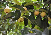 Syarat Tumbuh Tanaman Manggis