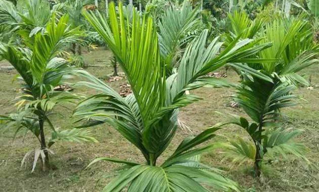 Syarat Tumbuh Tanaman Pinang