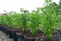 Syarat Tumbuh Tanaman Seledri