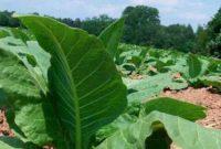 Syarat Tumbuh Tanaman Tembakau