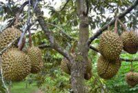 5 Cara Budidaya Tanaman Durian Agar Hasil Melimpah