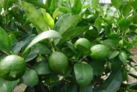 6 Cara Budidaya Tanaman Jeruk Nipis Agar Cepat Berbuah