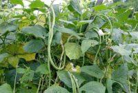 Klasifikasi dan Morfologi Tanaman Kacang Tunggak