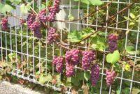 Syarat Tumbuh Tanaman Anggur