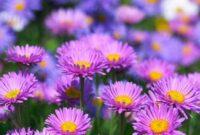 Syarat Tumbuh Tanaman Bunga Aster