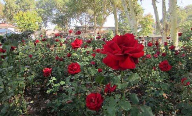 Syarat Tumbuh Tanaman Mawar Ilmu Pertanian