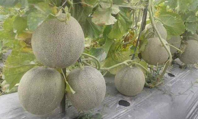 Syarat Tumbuh Tanaman Melon