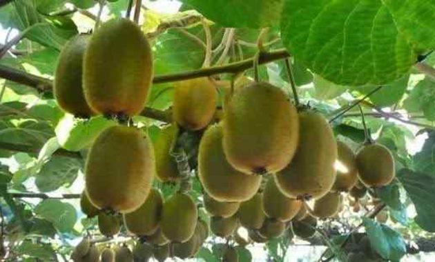 Syarat Tumbuh Tanaman Tanaman Kiwi