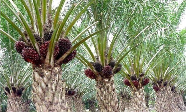 5 Jenis Pupuk Untuk Meningkatkan Produksi Kelapa Sawit