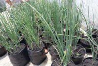 6 Cara Budidaya Tanaman Bawang Putih Dengan Polybag