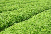 7 Cara Mempercepat Panen Tanaman Bayam Organik