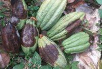 Cara Pengendalian Penyakit Busuk Pada Buah Kakao