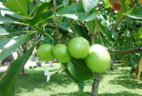Syarat Tumbuh Tanaman Bintaro