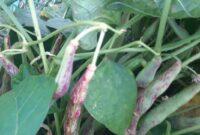 Syarat Tumbuh Tanaman Kacang Merah