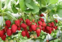 Syarat Tumbuh Tanaman Strawberry