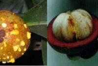 11 Jenis dan Cara Pengendalian Hama dan Penyakit Tanaman Manggis