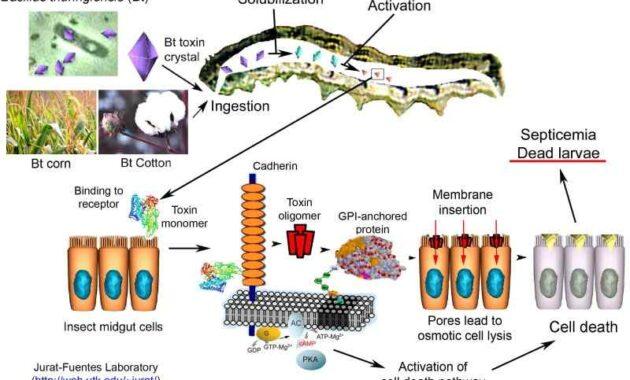 Cara Kerja Bakteri Bacillus Thuringiensis