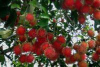 Jenis dan Cara Pengendalian Hama dan Penyakit Tanaman Rambutan