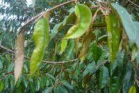 10 Jenis Dan Cara Pengendalian Hama Dan Penyakit Tanaman Durian
