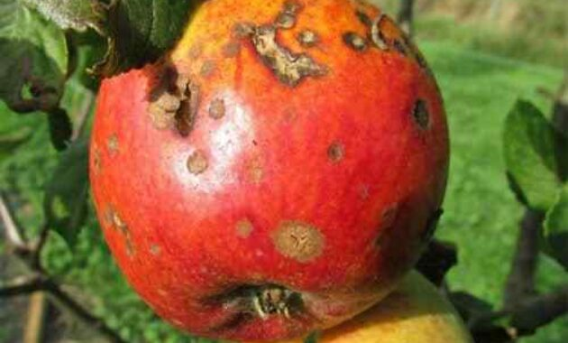 11 Jenis Dan Cara Pengendalian Hama Dan Penyakit Tanaman Apel