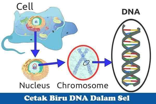 Apa Itu Cetakan DNA