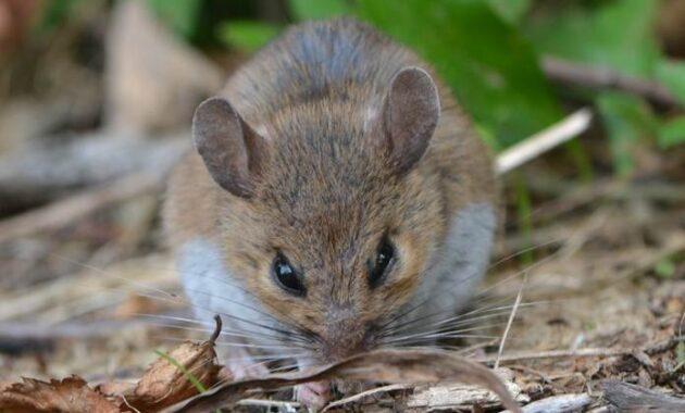 Cara Membuat Perangkap Hama Tikus Sawah