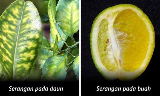 Cara Pengendalian Penyakit CVPD pada Tanaman Jeruk