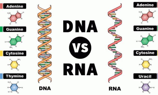 Konektivitas DNA dengan RNA