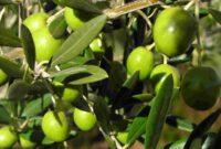 Morfologi Dan Klasifikasi Pohon Zaitun
