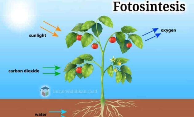 Pengertian Fotosintesis Adalah  Sejarah, Fungsi, Proses dan Faktor