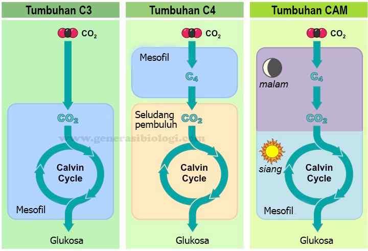 Pengertian, Perbedaan dan Contoh Tanaman C3, C4 dan CAM